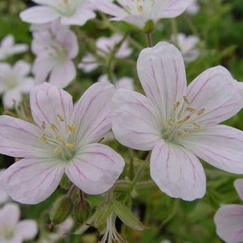 geranium sylvaticum 39 angulatum 39 plantes vivaces. Black Bedroom Furniture Sets. Home Design Ideas