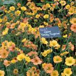 Geum 'Totally Tangerine' - Geum 'Totally Tangerine'