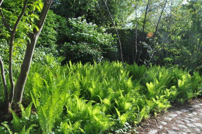 matteuccia pensylvanica plantes vivaces acheter des plantes en ligne. Black Bedroom Furniture Sets. Home Design Ideas
