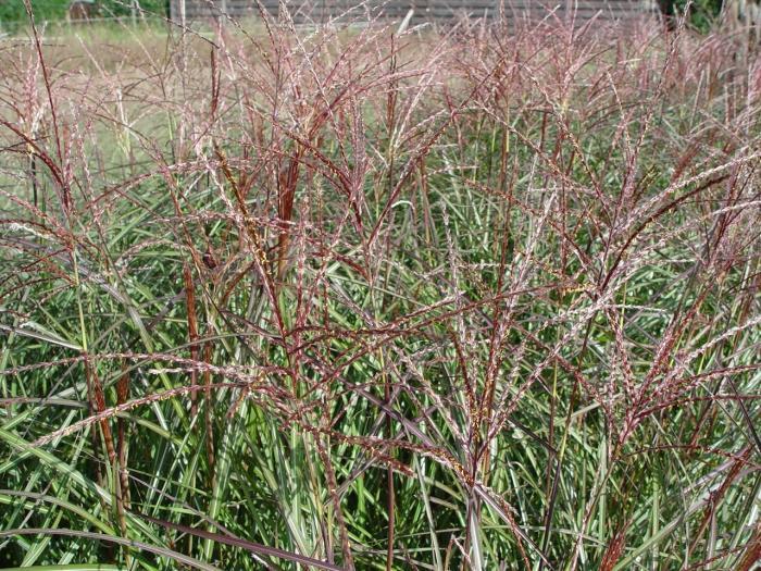 miscanthus sinensis 39 purple fall 39 kaufen pflanzen kaufen. Black Bedroom Furniture Sets. Home Design Ideas