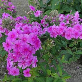 phlox amplifolia 39 pink painting 39 plantes vivaces. Black Bedroom Furniture Sets. Home Design Ideas