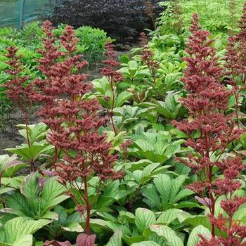 rodgersia pinnata 39 maurice mason 39 plantes vivaces acheter des plantes en ligne. Black Bedroom Furniture Sets. Home Design Ideas