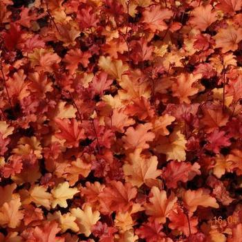 heuchera 39 peach flamb 39 plantes vivaces acheter des plantes en ligne. Black Bedroom Furniture Sets. Home Design Ideas