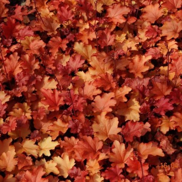 heuchera 39 peach flamb 39 plantes vivaces acheter des. Black Bedroom Furniture Sets. Home Design Ideas