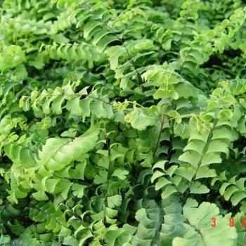 adiantum pedatum 39 imbricatum 39 plantes vivaces acheter des plantes en ligne. Black Bedroom Furniture Sets. Home Design Ideas