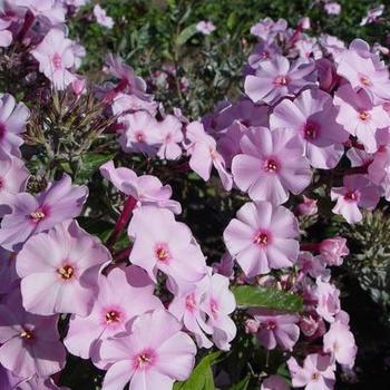 phlox paniculata js 39 rosanne 39 plantes vivaces acheter. Black Bedroom Furniture Sets. Home Design Ideas