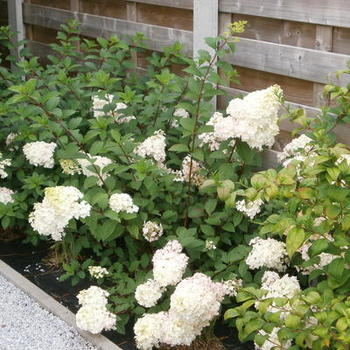 Hydrangea paniculata 39 sundae fraise 39 acheter acheter des for Acheter des plantes sur internet