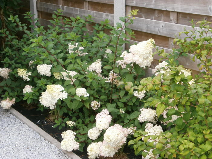 hydrangea paniculata 39 sundae fraise 39 acheter acheter des. Black Bedroom Furniture Sets. Home Design Ideas