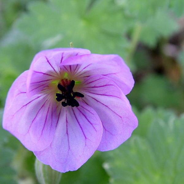 geranium 39 joy 39 plantes vivaces acheter des plantes en. Black Bedroom Furniture Sets. Home Design Ideas