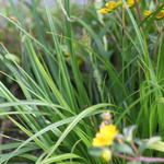 Carex oshimensis 'Evergreen' -