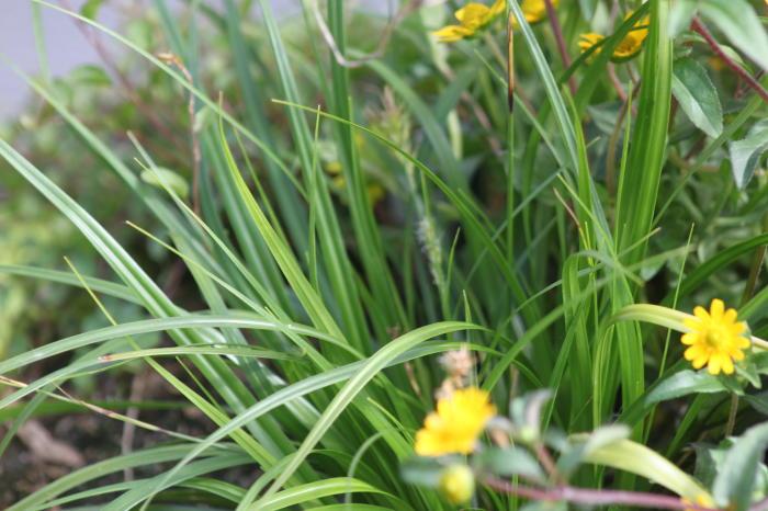 carex oshimensis 39 evergreen 39 gramin es acheter des plantes en ligne. Black Bedroom Furniture Sets. Home Design Ideas