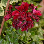 Pelargonium peltatum 'Royal Night' -