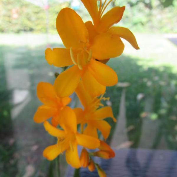 crocosmia 39 paul 39 s best yellow 39 plantes vivaces acheter. Black Bedroom Furniture Sets. Home Design Ideas