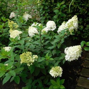 hydrangea paniculata 39 vanille fraise 39 acheter des plantes en ligne. Black Bedroom Furniture Sets. Home Design Ideas