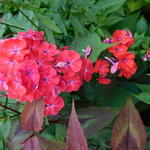 Phlox paniculata 'Orange Perfection'  -