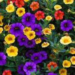 Calibrachoa Million Bells Series -