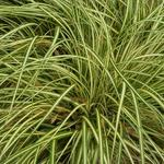 Carex oshimensis 'Evergold' - Carex oshimensis 'Evergold'