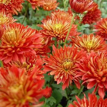 chrysanthemum indicum 39 brennpunkt 39 plantes vivaces. Black Bedroom Furniture Sets. Home Design Ideas