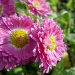 Chrysanthemum indicum 'Corinna' - Chrysanthemum indicum 'Corinna'