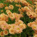 Chrysanthemum indicum 'Kleiner Bernstein' - Chrysanthemum indicum 'Kleiner Bernstein'
