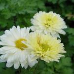 Chrysanthemum indicum 'Poesie' - Chrysanthemum indicum 'Poesie'