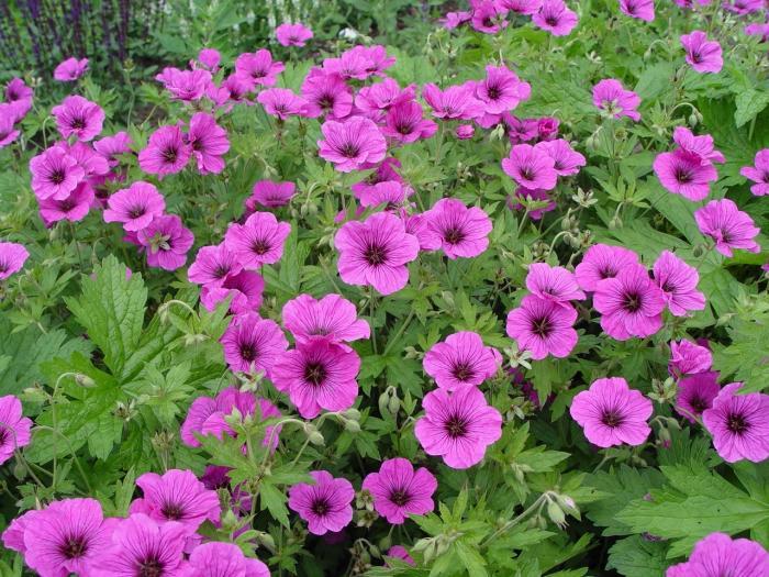 Geranium 39 js matu vu 39 acheter acheter des plantes en for Acheter des plantes sur internet