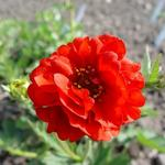 Geum chiloense 'Blazing Sunset' -
