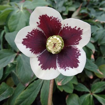 Helleborus Orientalis Spotted Hybrids Pflanzen Kaufen Online