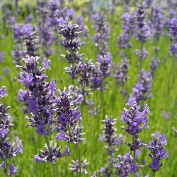 lavandula angustifolia 39 dwarf blue 39 stauden pflanzen kaufen online. Black Bedroom Furniture Sets. Home Design Ideas
