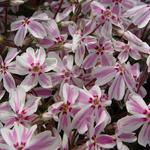 Phlox subulata 'Candy Stripes' -