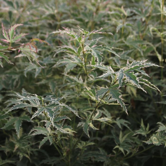 acer palmatum 39 butterfly 39 buissons acheter des plantes en ligne. Black Bedroom Furniture Sets. Home Design Ideas