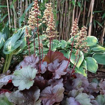 heuchera little cutie blondie 39 plantes vivaces acheter. Black Bedroom Furniture Sets. Home Design Ideas