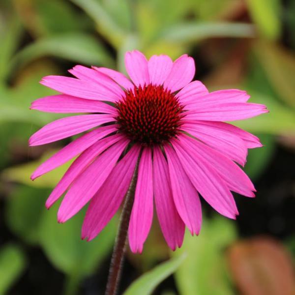 echinacea purpurea 39 primadonna deep rose 39 plantes. Black Bedroom Furniture Sets. Home Design Ideas