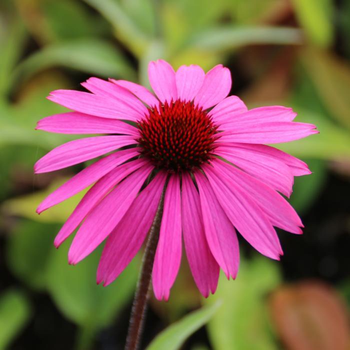 echinacea purpurea 39 primadonna deep rose 39 kaufen pflanzen kaufen online. Black Bedroom Furniture Sets. Home Design Ideas