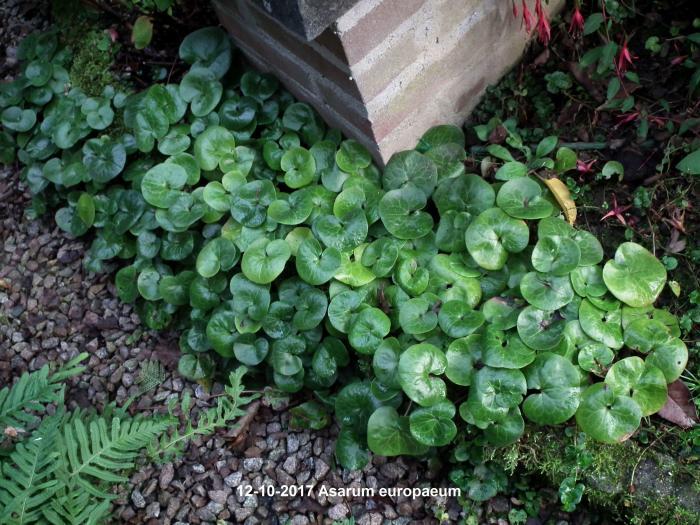 Berühmt Gewöhnliche Haselwurz - Asarum europaeum   Pflanzen kaufen online #XS_94