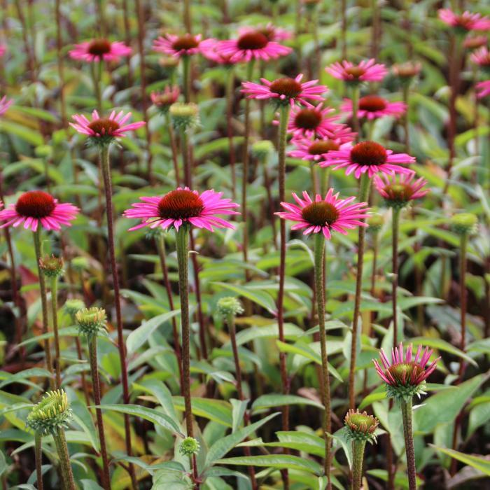 echinacea purpurea pica bella acheter acheter des plantes en ligne acheter en ligne sur. Black Bedroom Furniture Sets. Home Design Ideas
