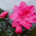 Rhododendron molle subsp. japonicum (rood) -