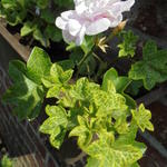 Pelargonium 'Cotta Lilac Queen' -