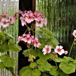 Pelargonium 'Scottow Star' -