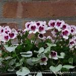 Pelargonium 'BELLA DONNA ANGEL Indy' -