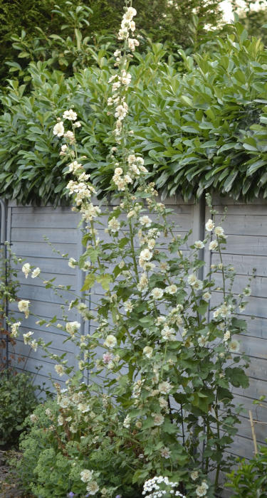 x alcalthaea suffrutescens 39 parkallee 39 acheter des plantes en ligne. Black Bedroom Furniture Sets. Home Design Ideas