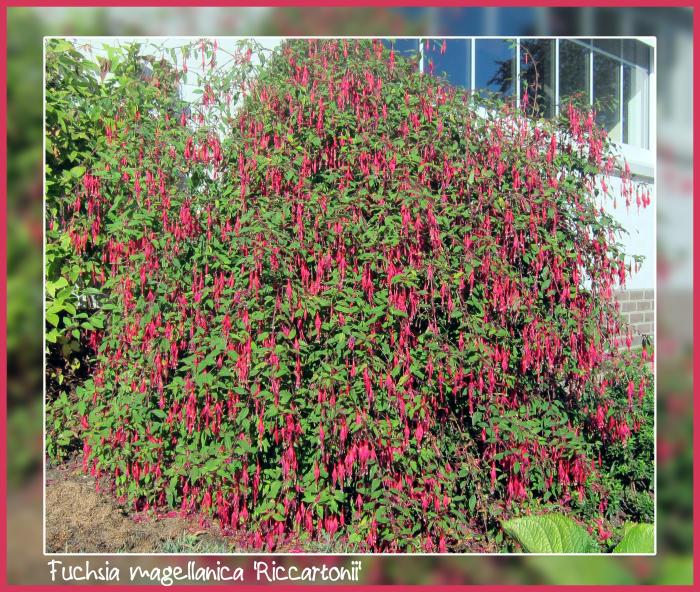 fuchsia magellanica 39 riccartonii 39 acheter des plantes en ligne. Black Bedroom Furniture Sets. Home Design Ideas