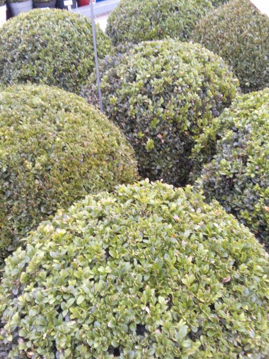 buxus sempervirens gew hnlicher buchsbaum heckenpflanzen pflanzen kaufen online. Black Bedroom Furniture Sets. Home Design Ideas