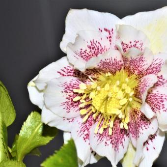 Helleborus Double 'Red Spickles'