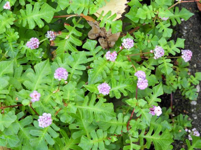 persicaria runcinata needham 39 s form acheter des plantes. Black Bedroom Furniture Sets. Home Design Ideas