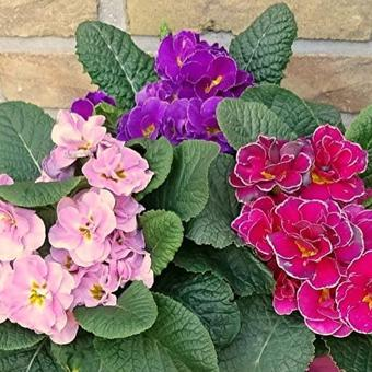 Primula 'Think Pink'