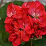 Pelargonium 'Baby Brocade' -