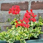 Pelargonium 'Oldeburry Cascade' -