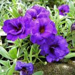 Calibrachoa 'Can Can serie' -