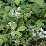 Rubus fruticosus - Rubus fruticosus